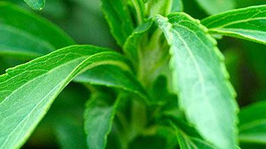 stevia image